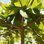 Bài văn lớp 4 miêu tả cây bàng trong sân trường
