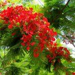 Miêu tả về cây phượng