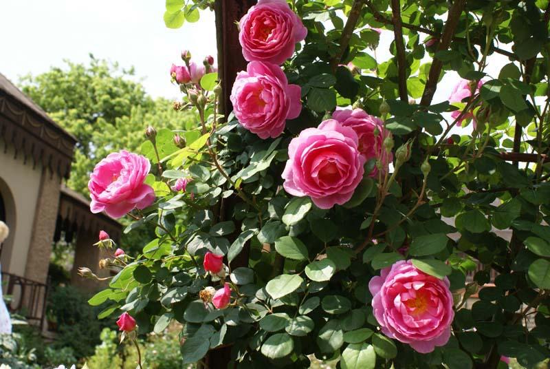 Bài văn lớp 4 tả cây hoa hồng