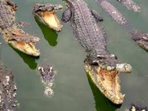"""Hình ảnh đàn sấu trong bài phân tích trích đoạn """"Bắt sấu rừng U Minh Hạ"""" của Sơn Nam"""