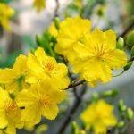 Bài văn hay miêu tả về cây hoa mai