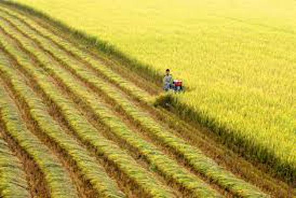 Thuyết minh về cây lúa nước