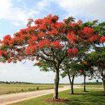 Văn biểu cảm:Cảm nghĩ về cây phượng