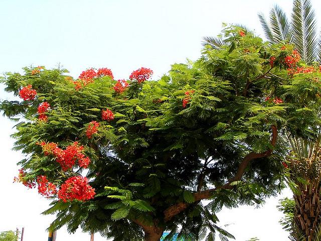 Bài mẫu: Cảm nghĩ về cây phượng