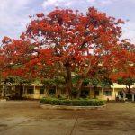 Bài văn biểu cảm về cây phượng