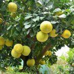Bài văn mẫu: Thuyết minh về cây bưởi
