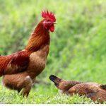 Thuyết minh về một loài động vật hay vật nuôi phổ biến ở quê hương em