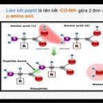 Lý thuyết đại cương peptit là gì và các tính chất của peptit